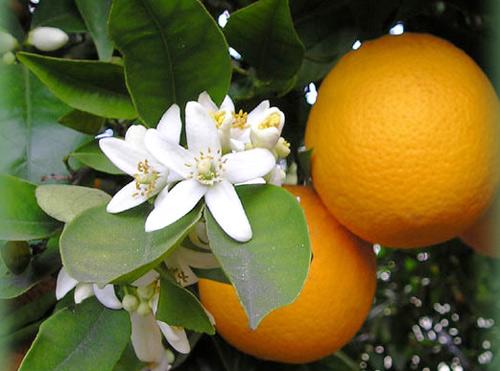 Azahar y naranjas