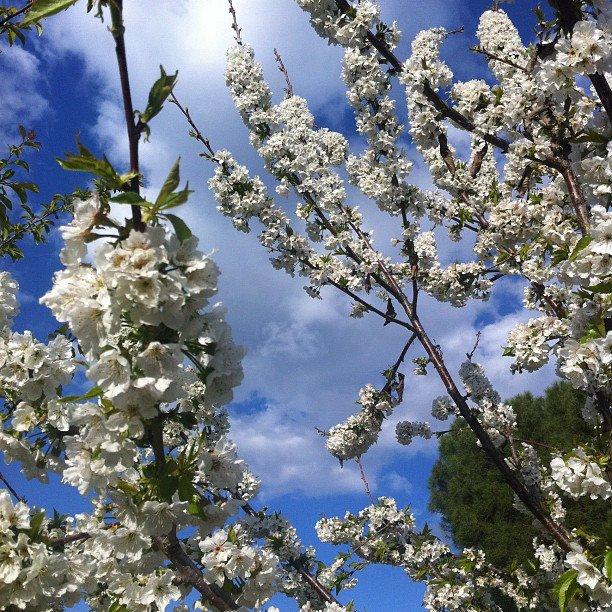 Cerezo del huerto, el Jardinito, Trassierra