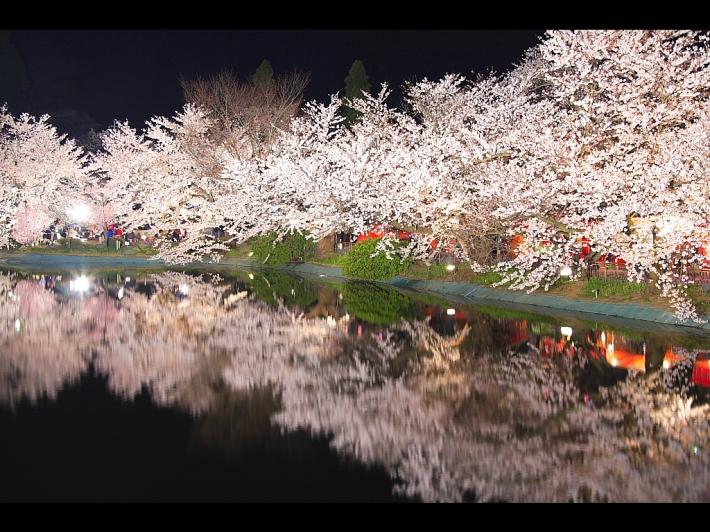 夜桜 - Yozakura