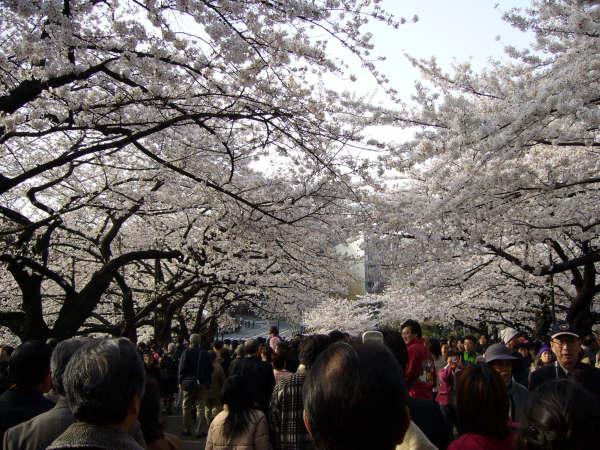 Gente paseando bajo los cerezos