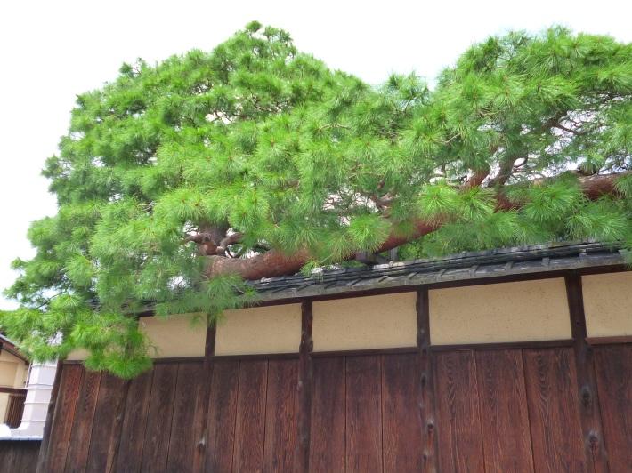 Jardinería japonesa en un pino nipón (matsu)