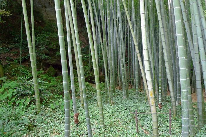 Bosque de bambú en Hokokuji o Takedera